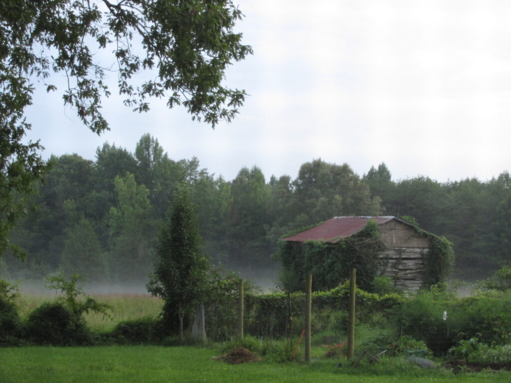 A foggy green spring day at the Farm looking out to an old Tobacco drying barn covered in vines