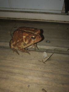 Dexter the Deck Toad (American Toad) with a moth