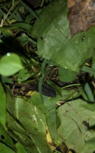 A scaly firefly larvae hidden in the greenery